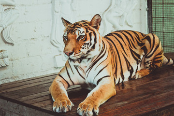 Female tiger sitting on the table and posing for camera.