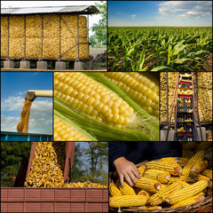 Corn collection