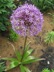 round inflorescence