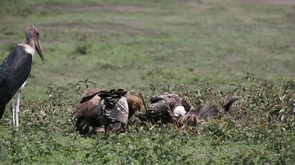 vulture eating wilderbeest