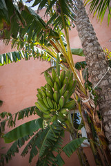 Banana tree, Andalusia, Spain