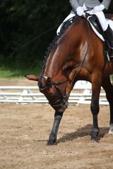 Sport horse scratching its leg