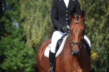 Bay sport horse portrait