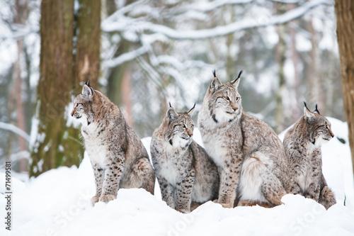 Fotobehang Lynx lynx family