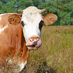 Head of a cow against a pastur