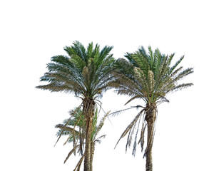 palm trees on white