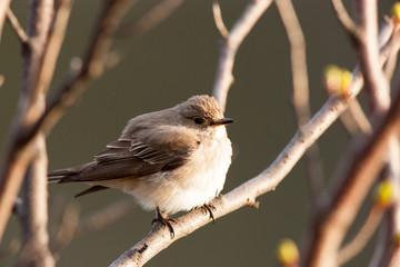 Muscicapa striata, Spotted Flycatcher