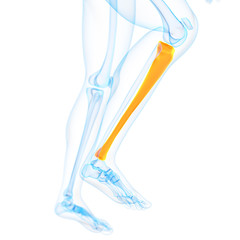 medical 3d illustration of the tibia