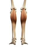 muscle anatomy - the gastrocnemius poster