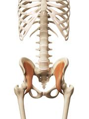 muscle anatomy - the iliacus