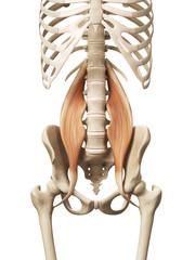 muscle anatomy - the psoas major