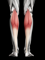 human muscle anatomy - gastrocnemius