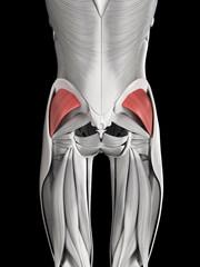 human muscle anatomy - gluteus minimus