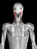 human muscle anatomy - sternocleidomastoid poster