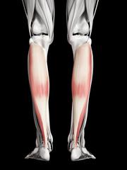 human muscle anatomy - soleus
