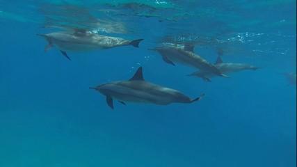 viele delfine ganz nah beim tauchen im roten meer