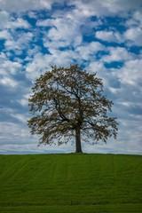 Einsame Eiche im Herbst unter weiß-blauem Himmel