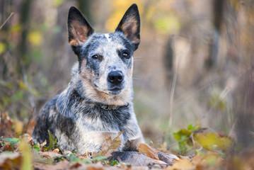 Fall portrait of Australian cattle dog