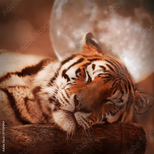 Poster Tijger the sleeping tiger in the glow of moonlight
