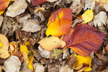 Colorful fallen dry autumnal leaves
