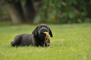 Щенок лабрадора на траве
