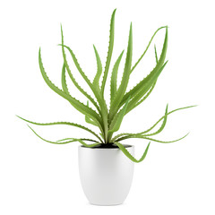 aloe plant in pot isolated on white background