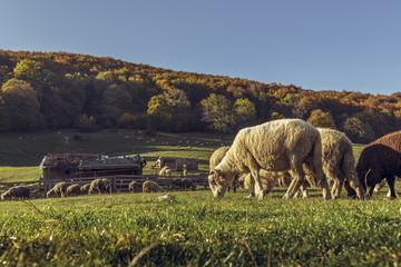 Grazing sheep flock and sheepfold