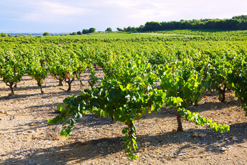 Vineyards plantation in  summer day
