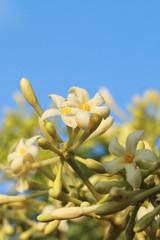 flower of papaya tree