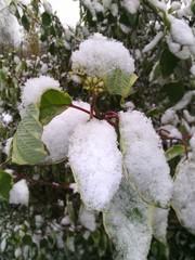 Листья полные снега