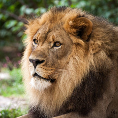 Portrait of an adult lion