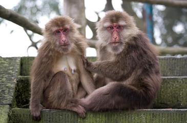 Macaque in Emei mountain