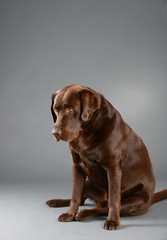 Brown chocolate Labrador, sitting and looking sad.