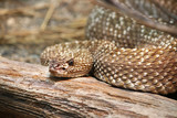Uracoan Rattlesnake Crotalus durissus vegrandis rattle snake poster