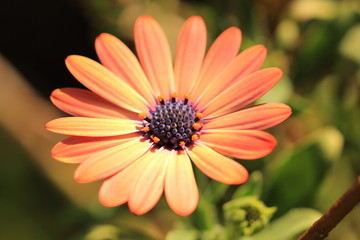 Close up of orange daisy in green garden setting