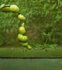 Solanum lycopersicum green tomato