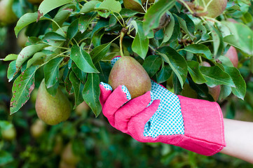 Farmer's hand in a glove picking a ripe pear