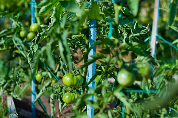 Green tomatoes on the plants