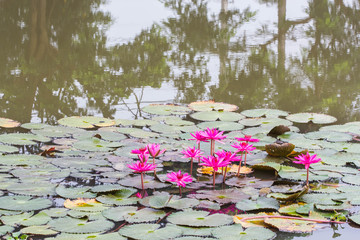 pink lotus in pond.