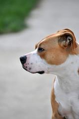 The dog , Amstaff, Profile