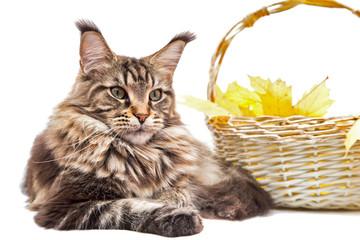 Портрет кошки на белом фоне