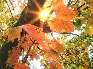 Herbstsonne im bunten Ahornbaum