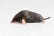 Mole on a white background - studio shot