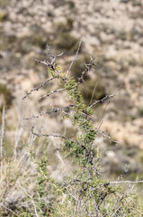 Detail of Asparagus albus