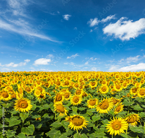 canvas print picture Sunflower field and blue sky