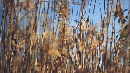 Dry reed plants on a sunny autumn day. 1920x1080 full hd footage
