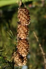 cones of larch tree