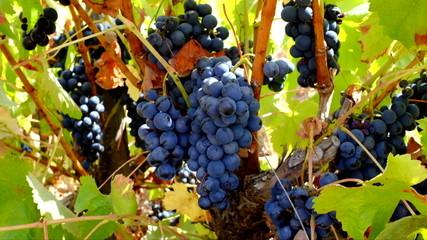 Ripe grapes on a tree