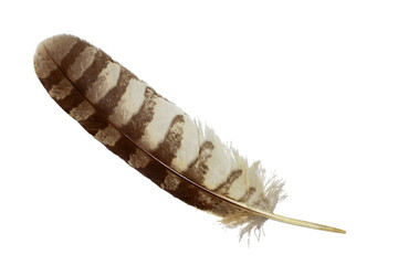 Spotted eagle owl feather isolated on white