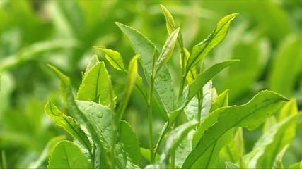 朝露に濡れる茶葉6